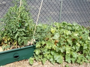 We have lots of vegetables growing in our garden